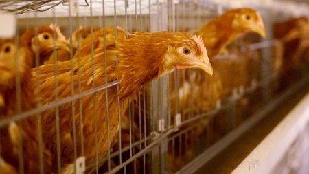 В Японии уничтожат около 300 тысяч кур из-за птичьего гриппа