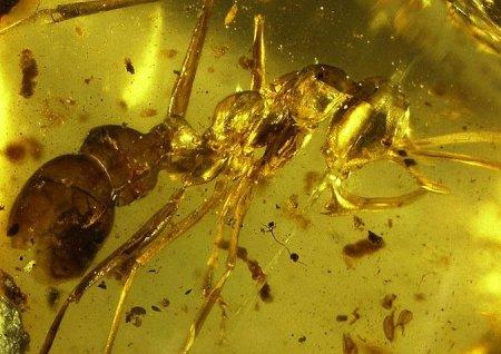 В куске янтаря обнаружили древнего муравья-убийцу