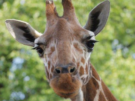 Китаец в зоопарке пытался покормить жирафа деньгами