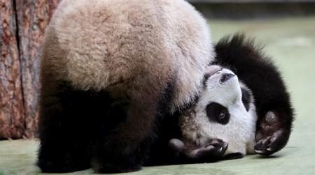Москвичей пригласили отметить в зоопарке день рождения панд Жуи и Диндин