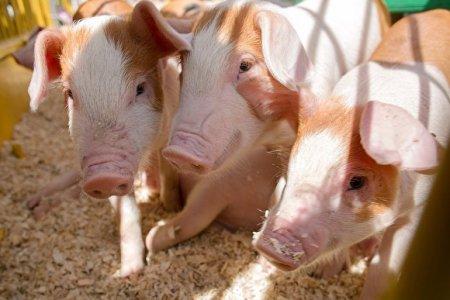 Жители выступили против строительства свинокомплекса «Мироторга» на землях Курской дуги