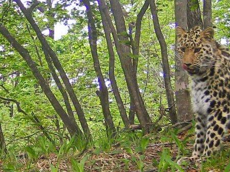 В Приморье фотоловушка сняла леопарда Катюшу, родившую двух котят