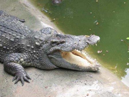 В Подмосковье грузовик задавил крокодила