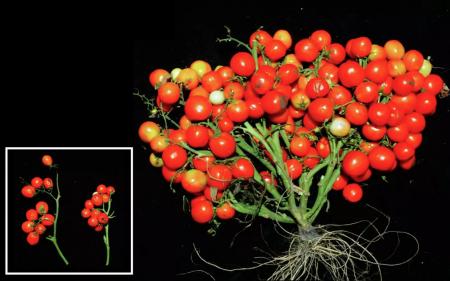 Учёные вывели томаты-букеты. Вырастут хоть в офисе, хоть в космосе