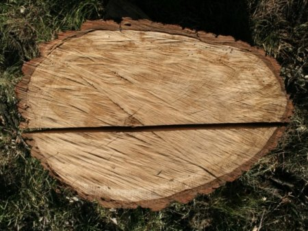 Биолог рассказал, какую опасность представляют срубленные в Муринском парке деревья