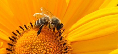 Литве и Румынии запретили использовать неоникотиноиды из-за пчел