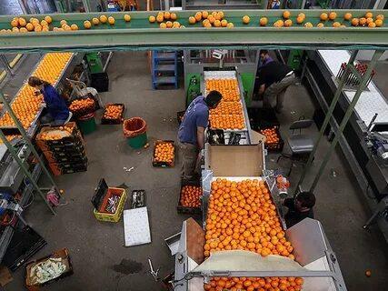 Финляндия вернула 8 партий израильских апельсинов из-за следов запрещенного удобрения