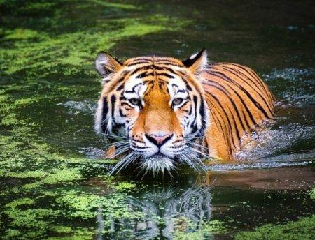 В США тигрица заболела коронавирусом из-за человека