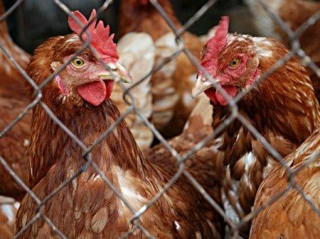 В Бельгии произошла вспышка опасного и очень заразного птичьего гриппа
