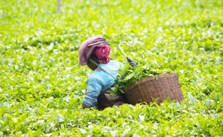 Коронавирус косит индийские плантации