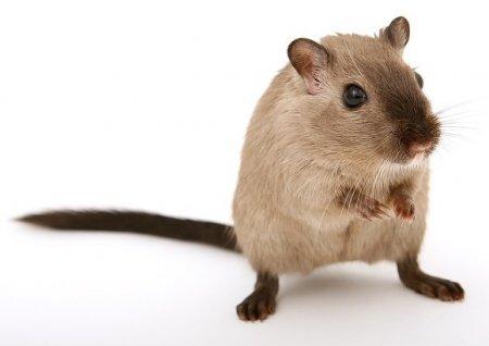 Эксперт рассказал, как защитить автомобиль от крыс
