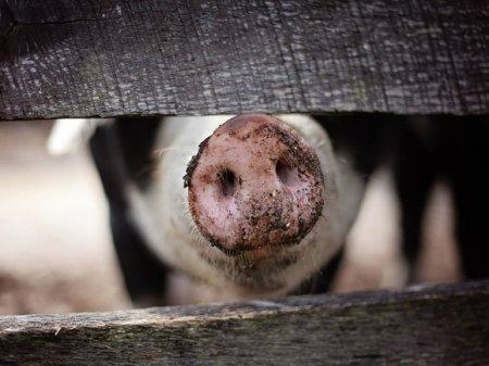 Поселок Приморья попал под карантин из-за африканской чумы свиней
