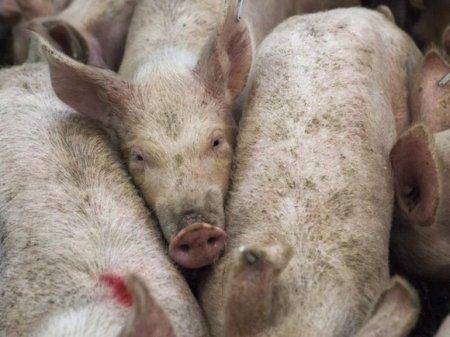 В Калининградской области зафиксировали новую вспышку африканской чумы свиней